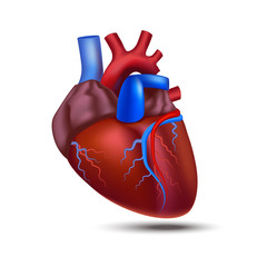 Realistic Detailed 3d Human Anatomy Heart. Vector