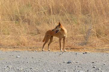 Dingo im Outback