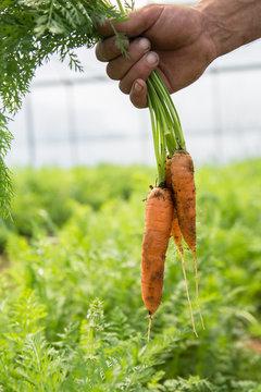Farmer picking carrots  in an organic vegetable garden