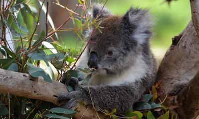 Koala beim futtern