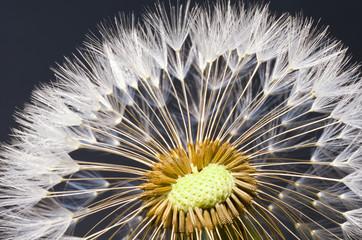 closeup macro macrophotograph dandelion (Taraxacum officinale) bloom flower florets springtime
