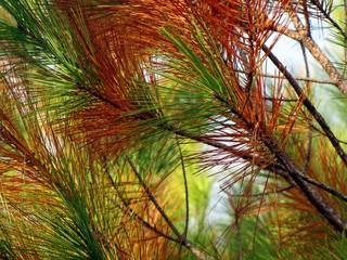 Coniferous autumn