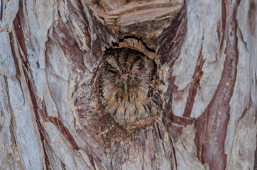 Tropical Screech-Owl hiding in a tree