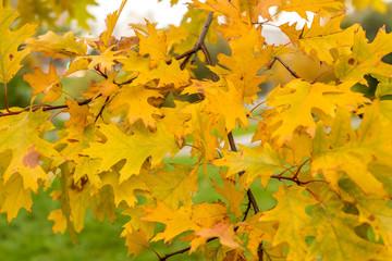 oak autumn, yellow oak leaves