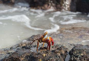 Sally lightfoot crab, grapsus grapsus, Galapagos Islands, Ecuador