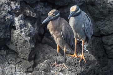 Pair of Galapagos lava heron, Butorides sundevalli