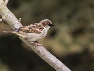 Male House Sparrow on tree branch