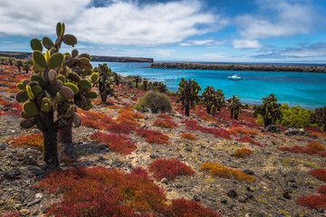 Galapagos Islands - August 24, 2017: Endemic cactuses in Plaza Sur island, Galapagos Islands, Ecuador