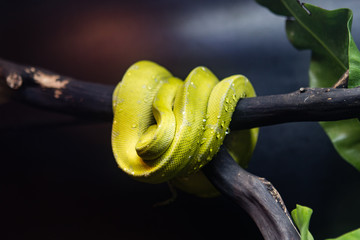 Green snake with water droplets