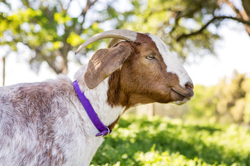 Close-up of Goat Standing Under a Tree