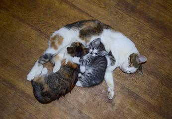 Calico cat feeding kitten milk. Breast-feeding. Kittens cat suck tits