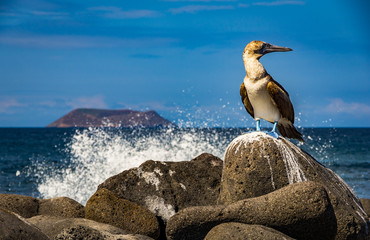 blue footed boobie with a wave crashing on the rock
