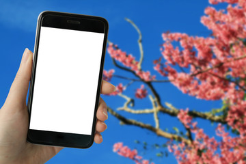Teenage girl using smart phone with white blank screen on full bloom of wild Himalayan Cherry (Sakura Thai) background in Northern Thailand. image for mock up.