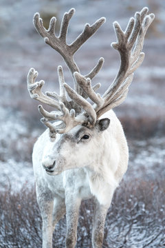 Portrait of a majestic white reindeer in its natural taiga habitat on a snowy day. Khuvsgol, Mongolia.