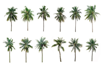 collection  Palm coconut  the garden  isolated on white background