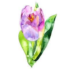 Yellow, beautiful, garden, decorative tulip. Spring, summer, feminine, first, purple flower. A fragrant, fresh, beautiful flora. Watercolor. Illustration