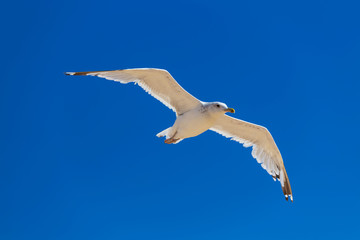 beautiful white seagull fly on a blue sky background