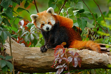 Photo sur Aluminium Panda Beautiful Red panda lying on the tree with green leaves. Red panda bear, Ailurus fulgens, habitat. Detail face portrait, animal from China. Wildlife scene from Asia forest. Panda from nature.