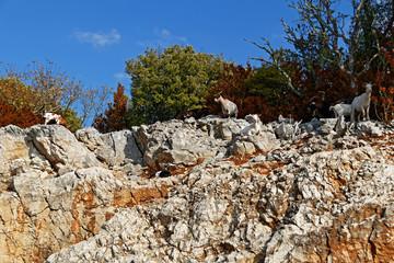 Chèvres sur rocher