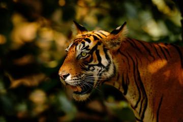 Big cat, endangered animal. End of dry season, beginning monsoon. Tiger walking in green vegetation. Wild Asia, wildlife India. Indian tiger, wild animal in the nature habitat, Ranthambore, India.