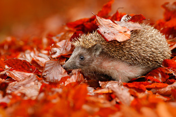 European Hedgehog, Erinaceus europaeus, on a green moss at the forest, photo with wide angle. Hedgehog in dark wood, autumn image. Cute funny animal with snipes. Autumn orange leaves with hedgehog.