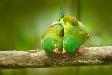 Yellow-crowned Amazon, Amazona ochrocephala auropalliata, pair of green parrot, sitting on the branch, courtship love ceremony, Costa Rica. Two bird on the branch. Parrot behaviour. Parrot love.