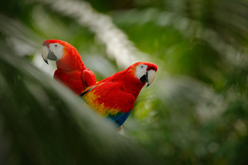 Pair of big parrot Scarlet Macaw, Ara macao, two birds sitting on branch, Brazil. Wildlife love scene from tropic forest nature. Two beautiful parrot on tree branch in nature habitat. Green habitat.