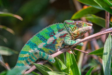 Profile view of a colorful chameleon on a branch