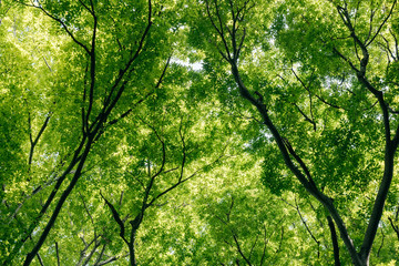 Japanese forest canopy