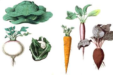 Illustration of vegetables on a white background.