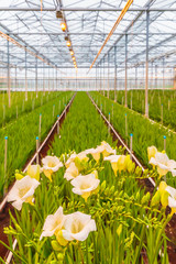 Blooming white freesia plants in a dutch greenhouse