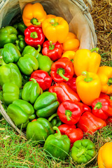 Fresh red, yellow and green organic bell peppers in a basket