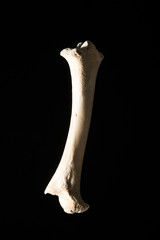 猪の大腿骨