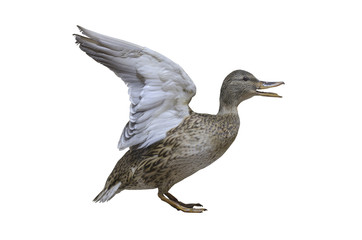 stuffed wild duck isolated on white. taxidermy