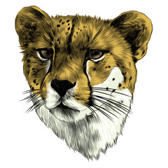 Cheetah head sketch vector graphics color picture