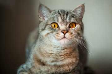 British Shorthair cat with yellow eyes lying on table.