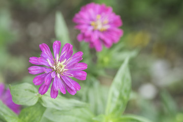 Zinnia pink bloom On blurred background