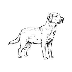 Hand drawn dog labrador. Vector sketch.