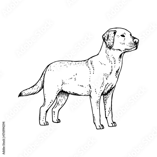 Hand Drawn Dog Labrador Vector Sketch Stock Image And Royalty