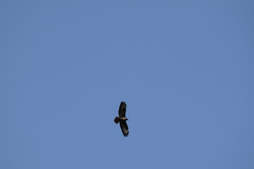 Bird of prey silhouette flying