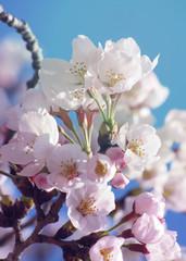 Papiers peints Fleur de cerisier Sakura