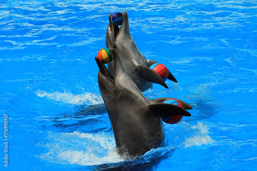 Two dolphins with balls in a pool