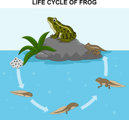 Illustration of frog life cycle