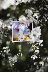 White blossomed plum tree and butterfly photograph hanging from branch