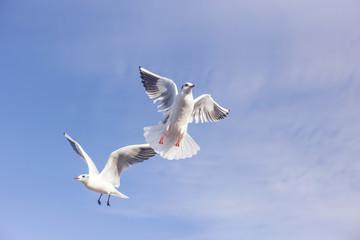 Two Gulls in Flight...