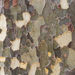 Natural environment background texture platan bark. Natural pattern.