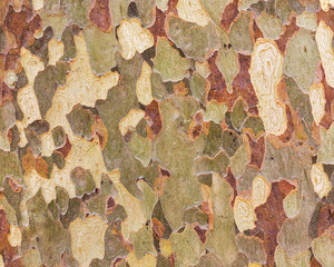 Platan bark wooden background. Close up bark of sycamore. Natural tree bark texture.