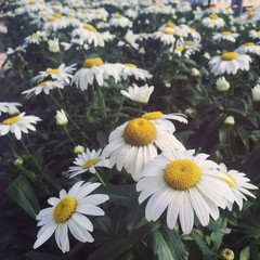 Field of White Shasta Daisies
