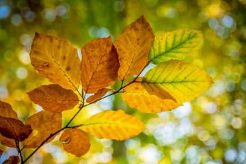 Goldene und grüne Buchenblätter