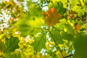 Leuchtend grüne Eichenblätter